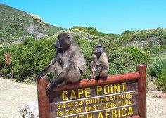 City of Cape Town welcomes a new and affordable shuttle service for tourists, Cape Comoot, which will run from Greenmarket Square to Cape Point and Franschhoek. Command And Conquer, Le Cap, Tourist Sites, Cape Town South Africa, Out Of Africa, Baboon, African Safari, Animals Of The World, Day Tours