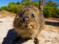 Wanna Boop That Snoot Happy Animals, Funny Animals, Cute Animals, Australia Animals, Quokka, San Diego Zoo, Animals Of The World, Pet Birds, Habitats