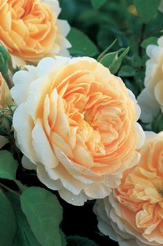 dreamy peachy Roses!