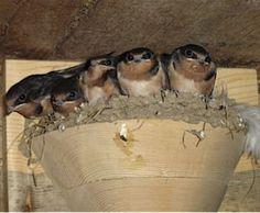 Barn Swallow Nest Cups-Set/2