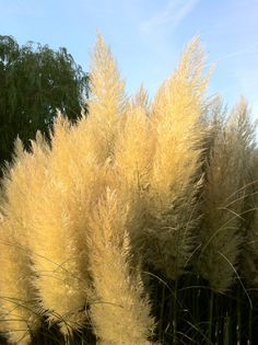 Pampas grass @ Golders Hill park