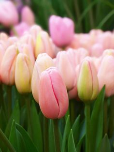 Pink tulips by tanakawho on Flickr.