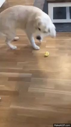 Have you ever shared a lemon with your pup? Well after watching this video you might not want to. Some pet owners decided to give their golden retriever a slice of lemon. As you can tell from hisj...