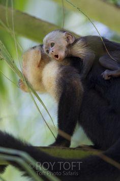 Brown Capuchin Monkey (Cebus paella), adult and juvenile, Osa Peninsula, Costa Rica. I love the expression on the baby's face. Primates, Mammals, Rainforest Pictures, Night Owl, Wild Animals, Costa Rica, Squirrel, Monkey, Safari