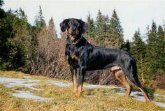 austrian black and tan hound | Österreichische Glathaarige Bracke, Austrian Black and Tan Hound