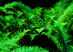 This Polystichum Munitum of Sword Fern will be one of my staples for the shady sections of my north facing garden.