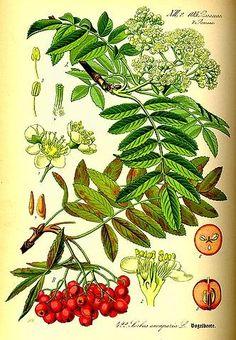 sorbo degli uccellatori Sorbus aucuparia