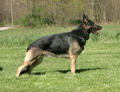 Switching your dog to a raw diet is not as difficult as many may think... and the benefits are endless!    http://www.examiner.com/article/feeding-your-german-shepherd-dog-switching-to-the-raw-diet-part-1