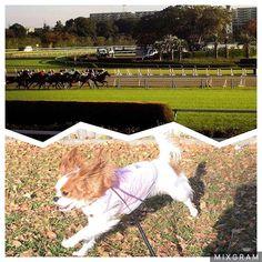 そーいえば、11月に撮影行ったCMが放送され始めましたm(._.)m ダンス関係ないけどm(._.)m  JRAさんの競馬場楽しいよ♫的なCMです。(笑)  競馬場初めてだったけど綺麗だし楽しかった〜*\(^o^)/* お馬さんも可愛くて、走ってる時のシッポがキャバリアっぽかった 馬飼いたいな〜♡(大分無理があるw)  #キャバリアキングチャールズスパニエル#キャバリア#cavalier#cavalierkingcharlesspaniel#cavalife#alice#dog#baby#puppy#犬#ふわふわ#ふわもこ部#キャバリア部#my_sister#inustgram#いぬすたぐらむ#犬のいる生活#いぬバカ部#女の子#girl#天使#しゃくれ#あご#可愛い#競馬場#撮影#CM#馬も飼いたい