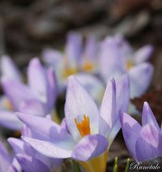 Krookuksia postipolun varrella. Crocuses along the path.