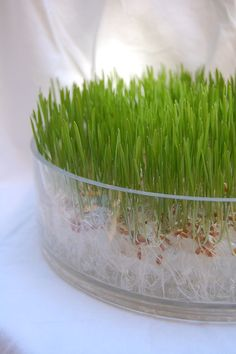 Chic Wheatgrass Soil-less Grow Kit In Glass Bowl.. Want to start growing my own for my masticating omega juicer