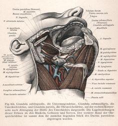 glandula sublingualis