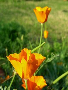 California Poppy ~ plant it in your medicinal herb garden...is calming  for children and adults who have sensitive constitutions.
