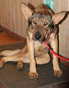 Frances German Shepherd Dog Mix • Adult • Female • Medium White County Animal Shelter Sparta, TN