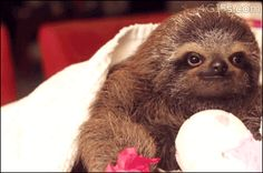 Romantic Sloth