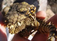 12 Best CUTEST LIZARD EVER images in 2019 | Reptiles