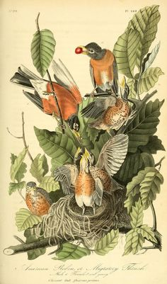 American Robin. The birds of America : from drawings made in the United States and their territories v.3. New York :J.B. Chevalier,1840-1844. biodiversitylibrary. Biodiversitylibrary. Biodivlibrary. BHL. Biodiversity Heritage Library