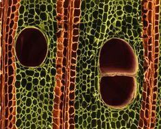 balsa wood cells cross section