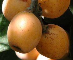 Bahar MüjdesiYenidünya (Malta eriği) oldukça faydalı meyvelerdendir.    Baharın geldiğini müjdeleyen bu koyu sarı, sulu, iri çekirdekli meyve özellikle A vitamini yönünden çok zengin.    Yazının Devamı: Bahar Müjdesi   Bitkiblog.com  Follow us: @bitkiblog on Twitter   Bitkiblog on Facebook