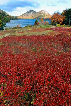 ✮ Red Berry Bushes, Jordan Pond and The Bubble Mountain, Acadia Nat'l Park, Maine