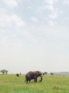 African elephant #AnimalBoard