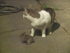 Pictures of my cat catching a bunny on Easter morning.  He just played with it until getting bored and it hopped away.