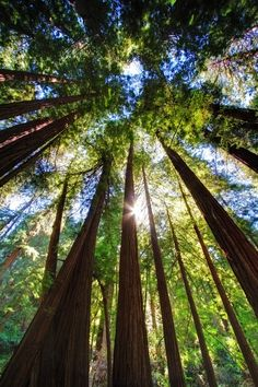 Muir Wood National Park, Northern California, San Francisco, Trees, Redwood Forest