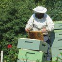 Right now there are 7000 beekeepers, mostly family farms in Canada who tend to 600,000 hives of honeybees and depend on them to make a living. Canadians produce 75 million pounds of honey annually. Approximately 1/3 is produced in Alberta, 1/3 in Saskatchewan & Manitoba, and 1/3 from the rest...