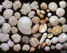 These are the shells of marine protists, each as small as a grain of sand. They are abundant in the fossil record, showing smooth transition. Grain Of Sand, Industrial Revolution, Rocks And Minerals, Prehistoric, Three Dimensional, Sea Shells, Shapes, Cool Stuff, Studying