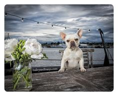French Bulldog on a tugboat  www.superstarpetservices.com