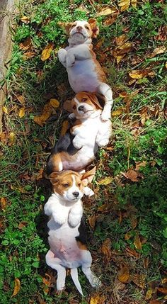 Beagle Puppies rolling in the leaves together.. so much cute!! :) #Beagle
