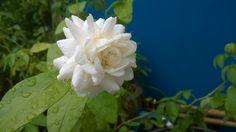 มะลิซ้อน (Arabian Jasmine, Jasminum sambac Aiton)
