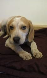 Bandit #306 is an adoptable Hound Dog in Waldorf, MD. Bandit #306 is an 8-week-old male Hound mix. We are working on crate training. He will be available for adoption at our Dogapalooza 2013 event in ...