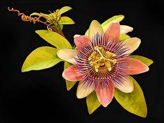 Passion Flower - Photograph at BetterPhoto.com