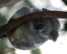 koala..