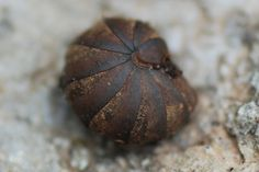 Asseln Griechenland #2 - Crustacea, Asseln und andere Krebstiere - Insektenfotos.de-Forum