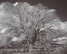 ANSEL ADAMS  1902 - 1984 Tree and Clouds, Tucson, Arizona Date:ca. 1944