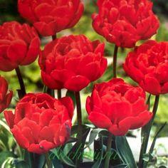 Тюльпан Абба, махровый ранний, 20 шт.