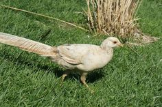 Hey, we have 2011 Yellow Golden Pheasant Hen for sale.