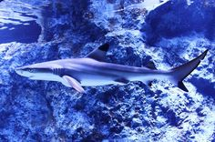11. Blacktip reef sharks have attacked 11 times on record.