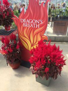 Dragon breath celosia