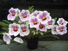 orquídeas-lindas-nomes-fotos