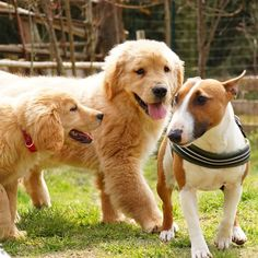 Lily&Fuzzy&Ame * #ilovegolden_retrievers #pets_perfection #my_loving_pet #dogs_of_instagram #golden_retrieverlovers #pupdoggydog #meowvswoof #bestwoof #dog_features #dogsofinstagram #ilovemydog #puppytales #instagramdogs #dogstagram #nature_cuties #FurrendsUpClose #goldens_ofinstagram #igclub_dogs #gloriousgoldens #instadog #goldenretriever #puppytrip #retrieversgram #welovegoldens #Excellent_Dogs #puppiesforall #lillyspicoftheweek #cutepetclub #bestfriends_dogs #Excellent_Puppies