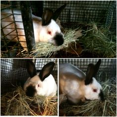 Cali the Californian rabbit is hay-staching!