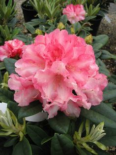 Rhododendron 'Elmer's Orphan' by Behnke Nurseries, Inc, this is one of the local nurseries that I frequent Different Flowers, All Flowers, Summer Flowers, Pretty Flowers, Beautiful Flowers Pictures, Flower Pictures, Beautiful Roses, Rhododendron Care, Flora Garden