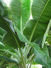 Growing Bananas Indoors | Dwarf Banana Tree