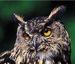 Greifvögel & Eulen - Adlerarena Landskron UHU - Bubo Bubo Owl, Animals, Horned Owl, Peregrine Falcon, Red Kite, Owl Babies, Buzzard, Barn Owls, Animales