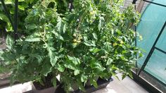 Quadgrow Jungle Alert: After 4 weeks in the Quadgrow, Kevin Hawkes tomatoes have had some incredible growth. We just hope Kevin doesn't get lost in his massive tomato plants!
