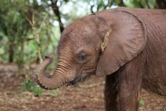 Little Ndotto is a hairy elephant, but did you know elephants use the hair on their skin to help them stay cool?