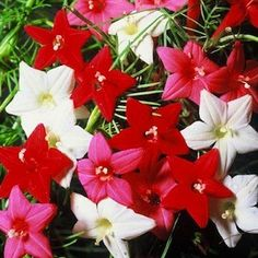 Not having much luck with my cypress vine seeds this year, but I just found out I should have planted them directly in the soil. Oh well -- better luck next year!